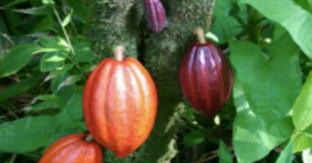 Cocoa beans were first cultivated by which country